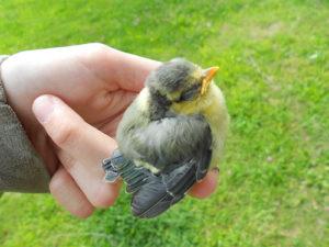 Une main soutient un petit oiseau (illustration) - Image: 'baby bird' http://www.flickr.com/photos/78369336@N02/7234161596 Found on flickrcc.net