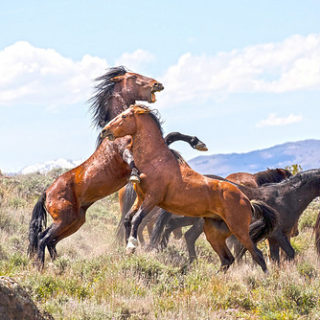 Combat de chevaux sauvages - Image: 'Horses in Nevada' http://www.flickr.com/photos/24354425@N03/34350311021 Found on flickrcc.net