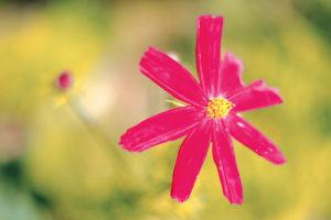 Photo d'une fleur rose blessée, deux pétales arrachés (illustration de la violence faite à une femme) -  Image: 'Violent Pink'  http://www.flickr.com/photos/37824335@N04/29093630375 Found on flickrcc.net