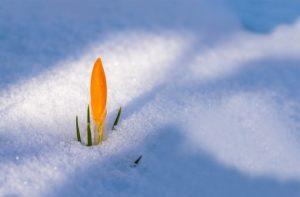 Une fleur de crocus perçant à travers la neige, au printemps - Image parMyriam Zilles de Pixabay