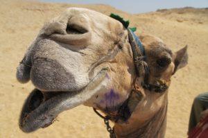 Illustration : la tête d'un chameau ayant l'air de rigoler - Image parNadine Hudson de Pixabay