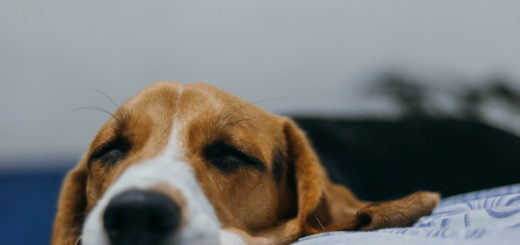 Illustration : Chien appuyant sa tête sur le bord du lit - Photo by João Victor Xavier on Unsplash
