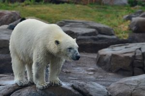 Un ours blanc dans un zoo - Image pardmcmeans de Pixabay