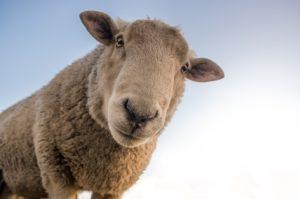 Un mouton nous observe - Image parRudy and Peter Skitterians de Pixabay