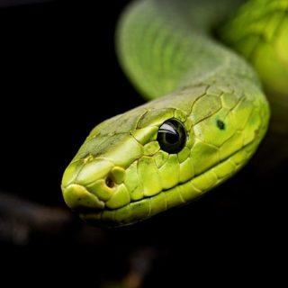 Illustration : un serpent vert sur fond noir - Image parMichael Kleinsasser de Pixabay