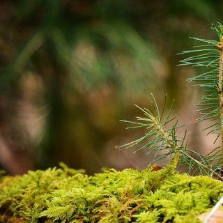 jeune pousse de sapin dans la forêt - Image par Manfred Antranias Zimmer de Pixabay