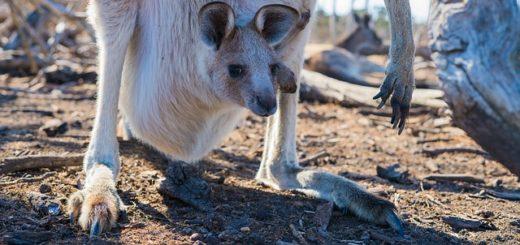 bébé kangourou dans la poche de sa maman - Image par Ethan Brooke de Pixabay