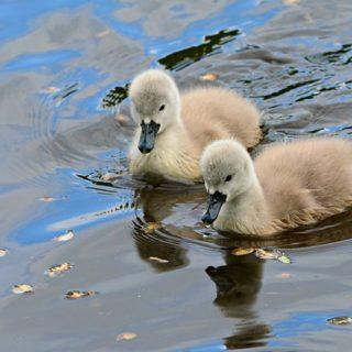 deux jeunes cygnes sur l'eau - Image parMabel Amber, still incognito... de Pixabay