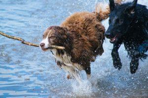 deux chiens courent dans l'eau en jouant - Image parFree-Photos de Pixabay