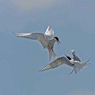 Deux sternes arctiques dans un combat aérien - Image par Dr. Georg Wietschorke de Pixabay