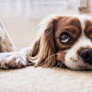 Un chiot au regard triste, mais tourné vers le hot - Image par Fran__ de Pixabay