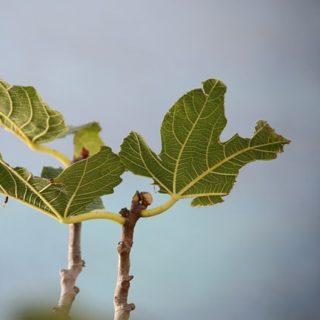 quelques pauvres feuilles de figuier sans fruits - Image par Quim Muns de Pixabay