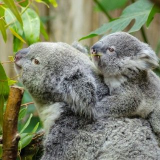un bébé koala sur le dos de sa mère - Image par Welcome to all and thank you for your visit ! ツ de Pixabay