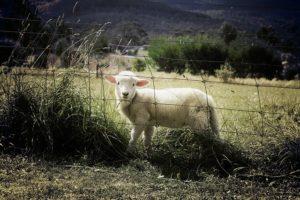 un mouton dans un parc fermé par une clôture - Image par Benjamin Nelan de Pixabay