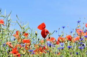 fleurs des champs : coquelicots et bleuets - Image par Capri23auto de Pixabay